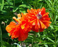 Two oriental poppies Stock Photos