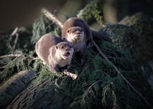 Two Oriental Short-clawed Otters Stock Photography