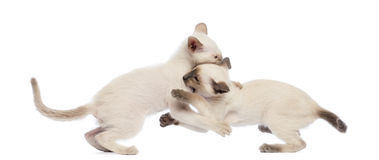Two Oriental Shorthair kitten play fighting Stock Photo