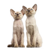 Two Oriental Shorthair kittens, 9 weeks old. Sitting and looking up against white background Stock Images