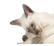 Two Oriental Shorthair kittens, 9 weeks old Royalty Free Stock Photography