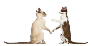 Two Oriental Shorthairs sitting Stock Photography