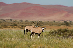 Two Oryx antelopes at Sossusvlei Royalty Free Stock Photography