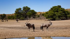 Two oryx antelopes stand back to back in the Namibian savanna in stock image