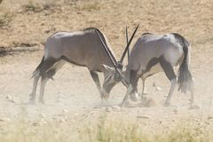 Two Oryx fight for dominance in the hot Kalahari. Sun Royalty Free Stock Photography