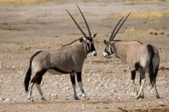 Two oryx fighting in the African Savanna. Royalty Free Stock Photo