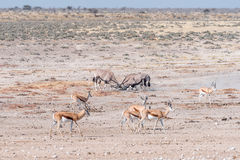 Two oryx fighting. Two oryx also called gemsbok, Oryx gazella, fighting in Northern Namibia Stock Photos