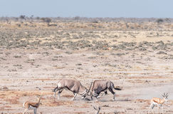 Two oryx fighting. Two oryx also called gemsbok, Oryx gazella, fighting in Northern Namibia Stock Photo