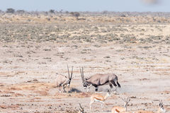 Two oryx fighting. Two oryx also called gemsbok, Oryx gazella, fighting in Northern Namibia Stock Photography