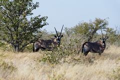 Two oryx in the long grass of the savannah stock images