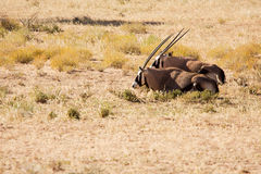 Two Oryx lying down in the Kgalagadi desert. Two Oryx lying down to rest in the Kgalagadi desert Royalty Free Stock Photos