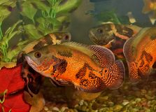 Two Oscar fish in an aquarium with reflections. Two colorful Oscar fish (Astronotus ocellatus) in an aquarium. They are at one end of the tank where stock photography