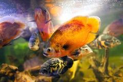 Two Oscar fish Astronotus ocellatus closeup shot on biotope Royalty Free Stock Images