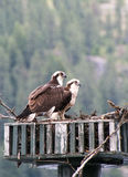 Two Osprey on Nest Royalty Free Stock Images