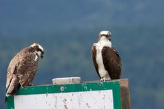 Two Ospreys Royalty Free Stock Photography
