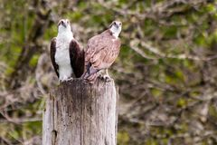 Ospreys Perched on a Piling Royalty Free Stock Photography