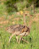 Two Ostrich chicks Stock Images