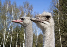 Two ostrich on the farm. Close-up of the two ostrich on the farm Stock Photos