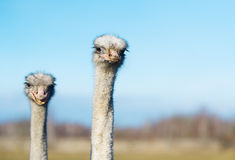 Two ostrich on the farm. The photo shows the head and neck ostriches Stock Photos