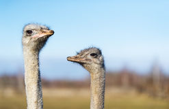 Two ostrich on the farm. The photo shows the head and neck ostriches Stock Images