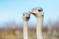 Two ostrich on the farm. The photo shows the head and neck ostriches Royalty Free Stock Photos