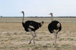Two Ostrich moving Stock Photography