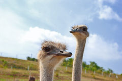 Two ostriches. Portrait of two ostriches on sky background Royalty Free Stock Photos