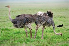 Two ostriches. Stock Images