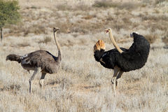 Two ostriches Stock Photography