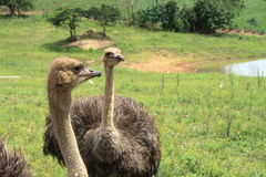 Two ostriches. On the farm Royalty Free Stock Photography