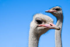 Two ostriches Stock Photo