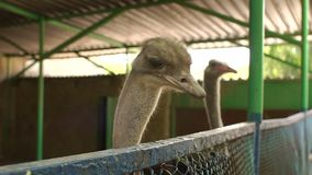 Two ostriches behind a metal fence. Close-up. Ostrich stuck his head out for the fence. Close-up of an ostrich in a cage with blue fence in a park stock footage