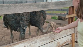 Two ostriches eat from the trough on an ostrich farm stock video