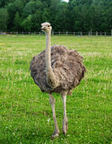 Two ostriches on green grass in summer. Two young ostriches on green grass in summer Stock Photo