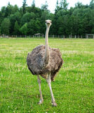 Two ostriches on green grass in summer. Two young ostriches on green grass in summer Royalty Free Stock Photography