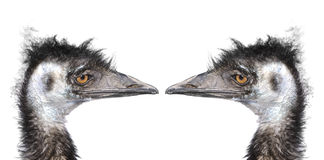 Two ostriches heads Stock Images