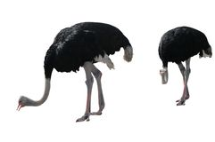 Two Ostriches Isolated on White. Ostrich pair isolated on white background with clipping path Stock Photos