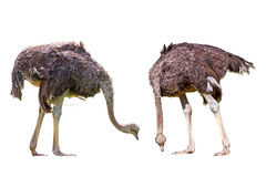 Two ostriches. Isolated on white Stock Images
