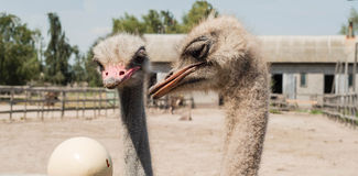 Two ostriches looking at the ostrich eggs at the ostrich farm Stock Photo