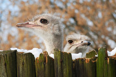 Two ostriches. Two ostrich head protruding above the fence Stock Images