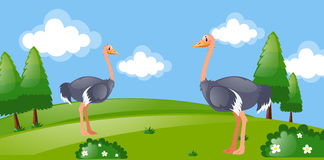 Two ostriches in the park Royalty Free Stock Photography