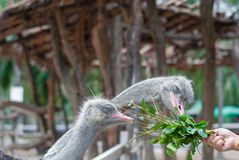 Two ostriches are pecking green plant, its feeding, from tourist. Hand in the zoo, they closed their eye while pecking stock photos