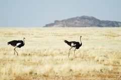 Two ostriches in the savannah, Namibia Stock Images