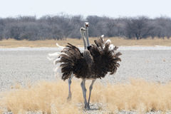 Two Ostriches. Stock Photo