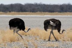 Two Ostriches. Royalty Free Stock Photos