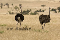 Two ostriches (Struthio camelus) with babies in savannah Stock Image