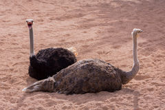 Two ostriches talking Stock Photo
