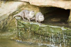 Two Otters Stock Images