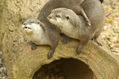 Two Otters Royalty Free Stock Images