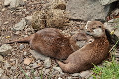 Two Otters Stock Photos